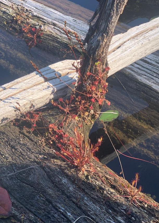 Robertson Lake sundews copy.jpg